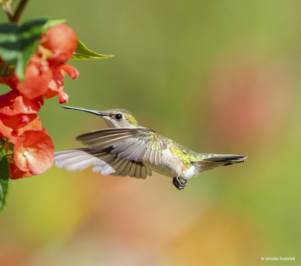 """Today's Photo Of The Day is """"Female Ruby-throated Hummingbird"""" by Ursula Dubrick. Location: Florida."""