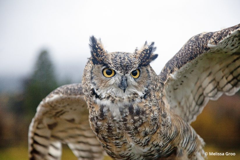 Captive wildlife: great horned owl
