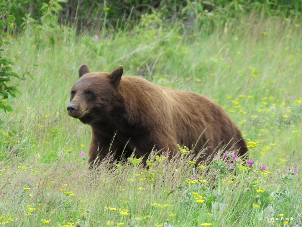 "Today's Photo Of The Day is ""Cinnamon Black Bear"" by Clayton Peoples. Location: Glacier National Park, Montana."