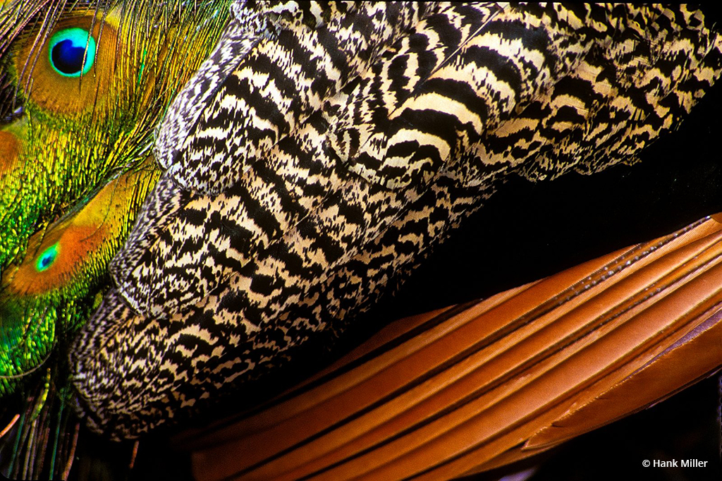 """Today's Photo Of The Day is """"Peacock Wing"""" by Hank Miller. Location: West Palm Beach, Florida."""