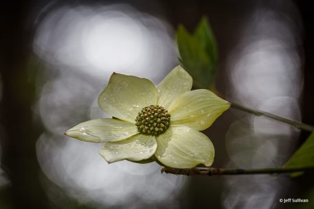 "Today's Photo Of The Day is ""Spring Shower Dogwood"" by Jeff Sullivan. Location: Yosemite National Park, California."