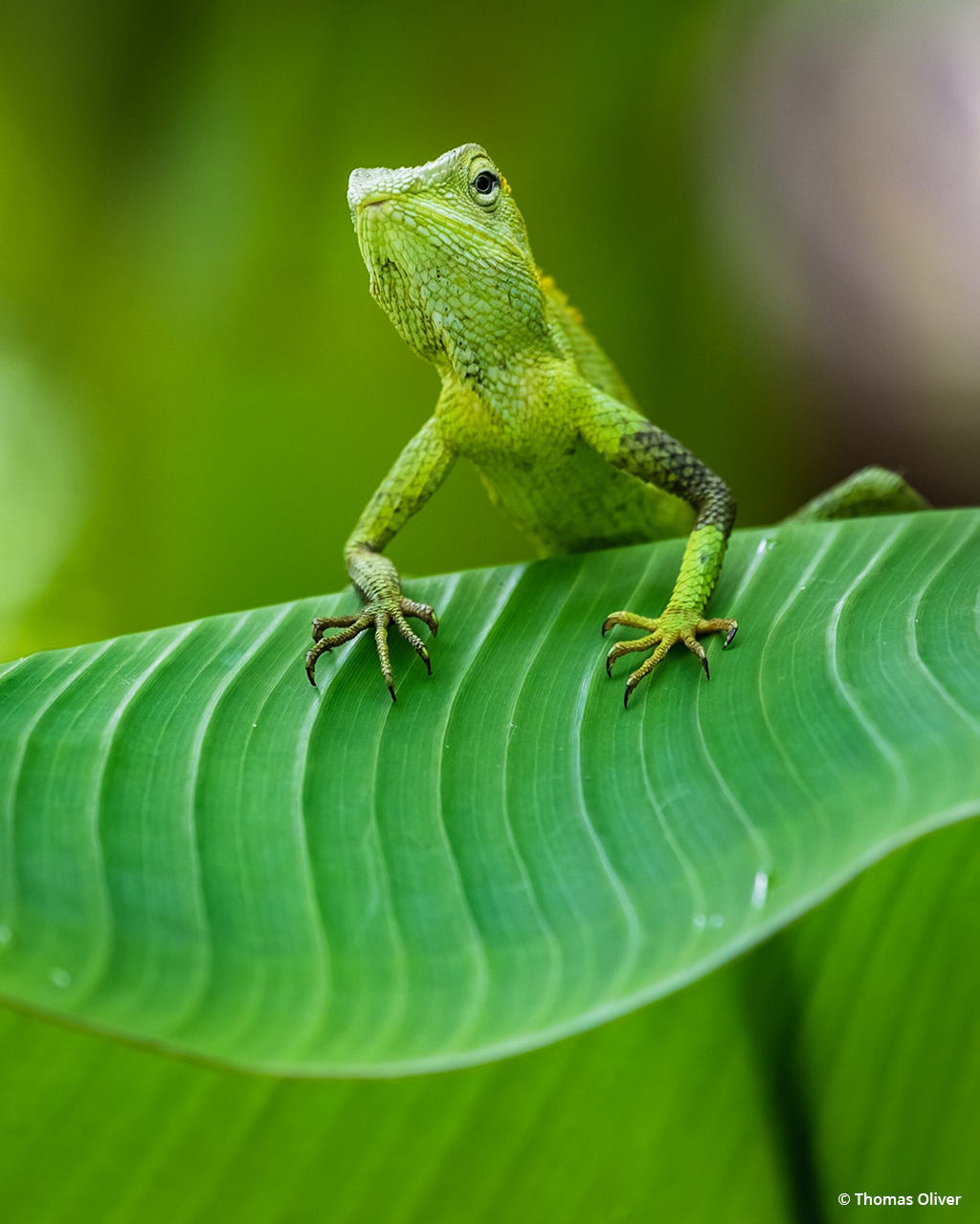 """Today's Photo Of The Day is """"Maned Forest Lizard in Bali"""" by Thomas Oliver. Location: Ubud, Bali."""