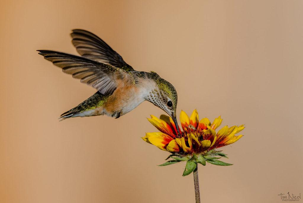 """Today's Photo Of The Day is """"Rufous and Blanket Flower"""" by Tim Nicol. Location: Republic, Washington."""