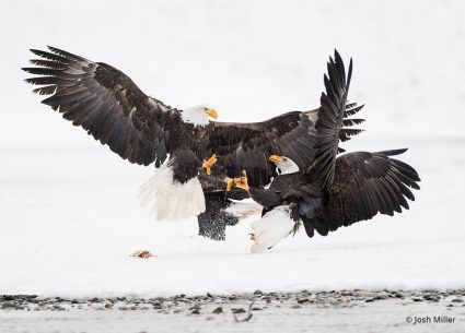 Image of eagles taken with the NIKKOR 500mm f/5.6E PF ED VR