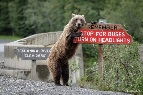 While on assignment in Denali National Park, I came across this juvenile grizzly bear who felt the need to remind me of the rules of the road