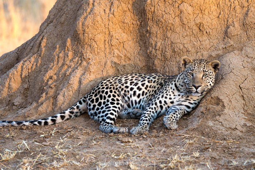 Leopard, at rest