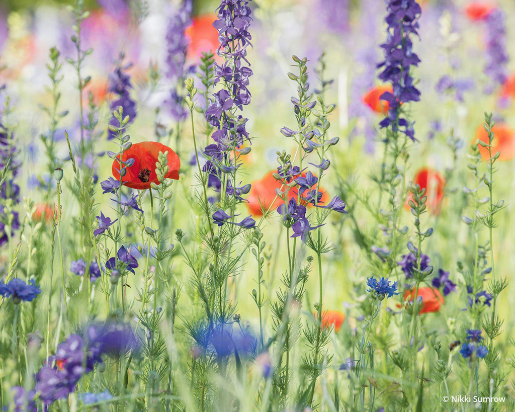 "Today's Photo Of The Day is ""Among the Wildflowers"" by Nikki Sumrow. Location: Prairie Creek Park, Richardson, Texas."