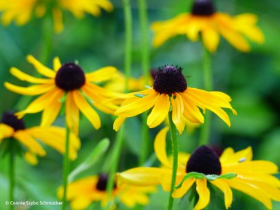 "Today's Photo Of The Day is ""Black-Eyed Susans"" by Connie Szabo Schmucker. Location: Indianapolis, Indiana."