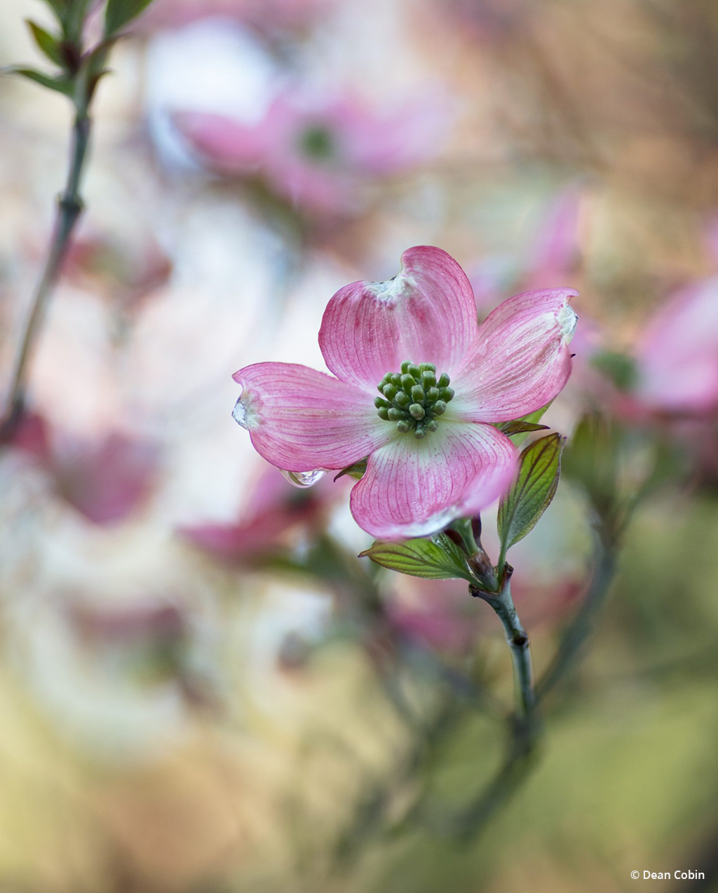 "Today's Photo Of The Day is ""Dogwood Dreams"" by Dean Cobin."