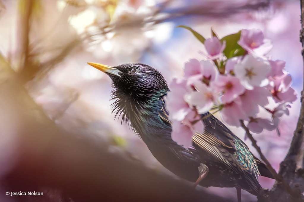 """Today's Photo Of The Day is """"Starling in Tree Buds"""" by Jessica Nelson. Location: Maryland."""