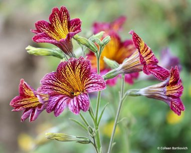 "Today's Photo Of The Day is ""Red and Yellow Flowers in Bloom"" by Colleen Bartkovich. Location: Ventura, California."