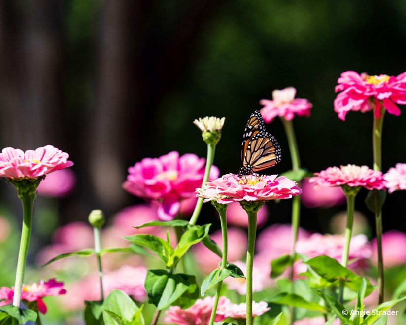 "Today's Photo Of The Day is ""Monarch Majesty"" by Angie Strader. Location: Dallas Arboretum, Texas."