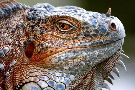 "Today's Photo Of The Day is ""Orange Iguana Portrait"" by Lorenzo Cassina. Location: Flamingo Gardens, Davie, Florida."