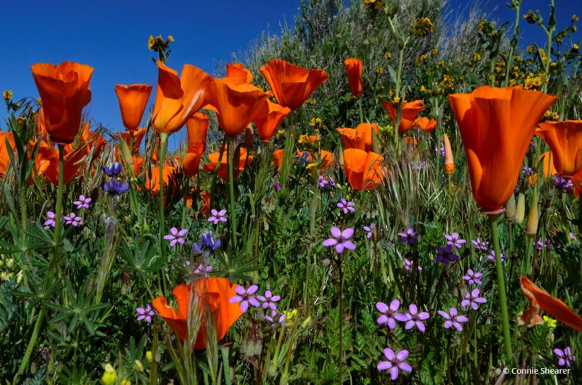 """Today's Photo Of The Day is """"Poppies"""" by Connie Shearer. Location: Antelope Valley California Poppy Reserve."""