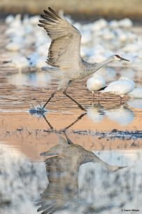 Image of a sandhill crane at Bosque del Apache