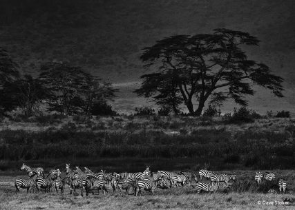 "Today's Photo Of The Day is ""Zebra Plains"" by Dave Stoker. Location: Ngorongoro Crater, Tanzania."
