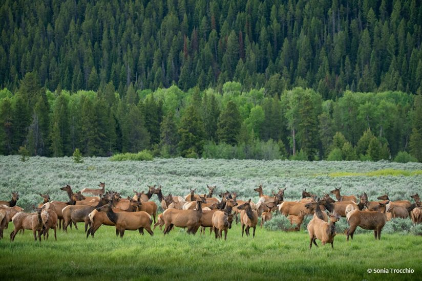 """Today's Photo Of The Day is """"Lines and Elk"""" by Sonia Trocchio. Location: Jackson, Wyoming."""