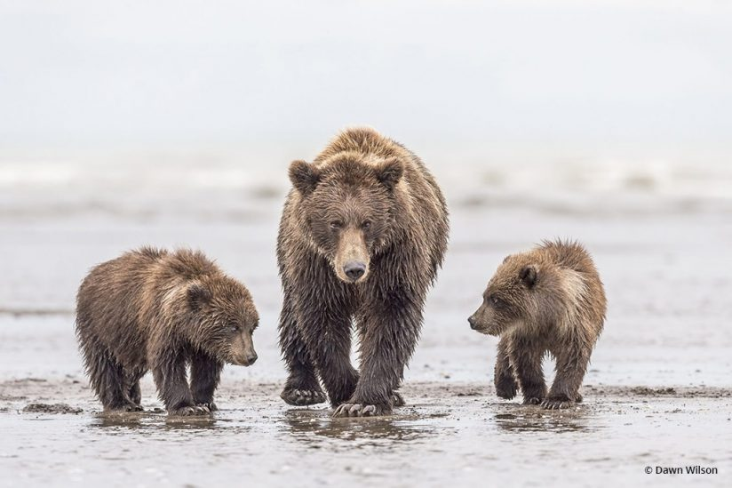 "Today's Photo Of The Day is ""Mamma and Cubs"" by Dawn Wilson. Location: Lake Clark National Park and Preserve, Alaska."