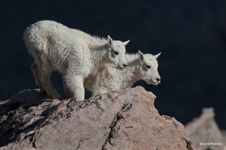 "Today's Photo Of The Day is ""Mountain Goat Kids"" by Gene Putney. Location: Mount Evans in Colorado."