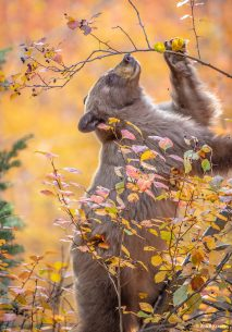 "Today's Photo Of The Day is ""Stretching for Berries"" by Ann P Kramer. Location: Grand Teton National Park, Wyoming."