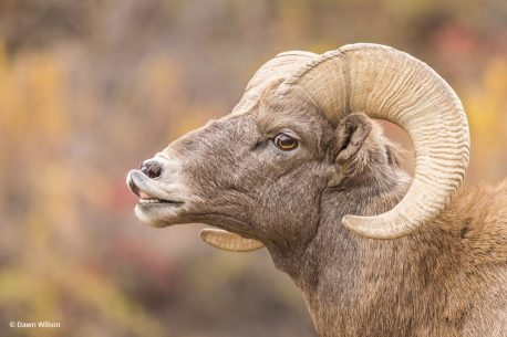 "Today's Photo Of The Day is ""Bighorn Ram in Fall Colors"" by Dawn Wilson. Location: Waterton Canyon National Recreation Area, Colorado."