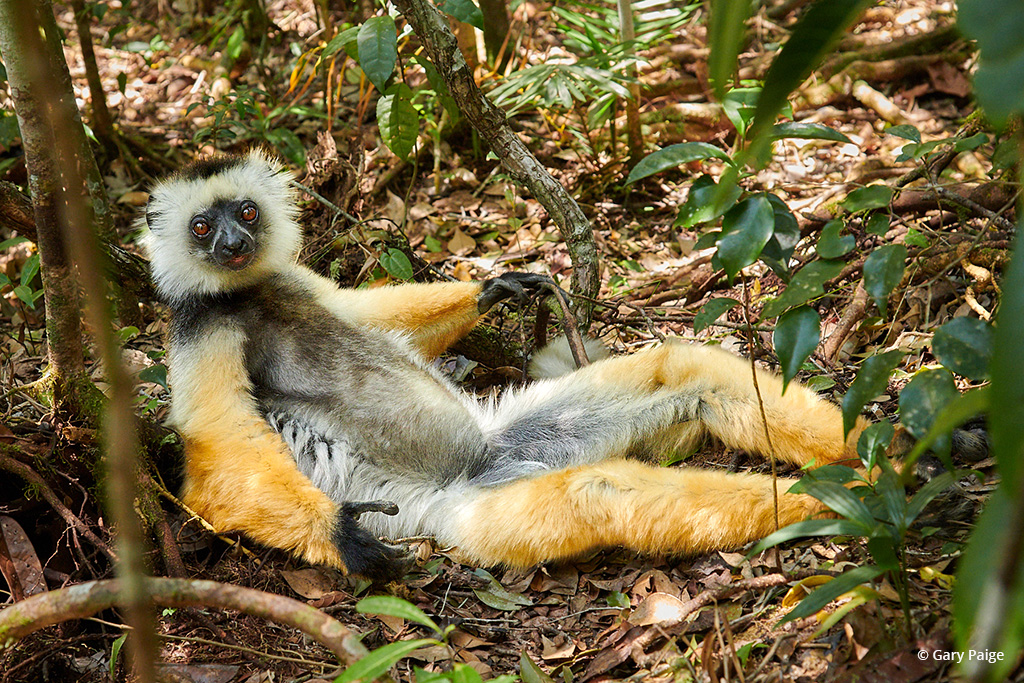 """Today's Photo Of The Day is """"Diademed Sifaka on Siesta"""" by Gary Paige. Location: Andasibe-Mantadia National Park, Madagascar."""