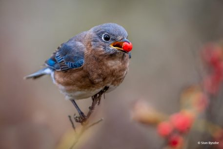 "Today's Photo Of The Day is ""Bluebird Berry"" by Stan Bysshe. Location: Alexandria, Virginia."