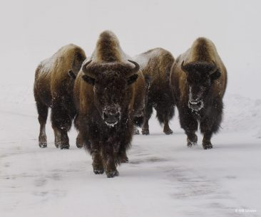 "Today's Photo Of The Day is ""Snow Bound Bison"" by Bill Sisson. Location: Yellowstone National Park, Wyoming."