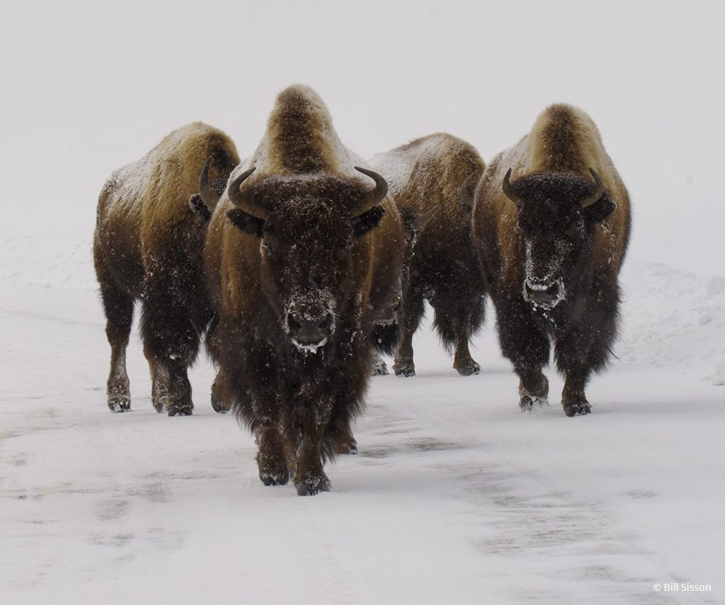 """Today's Photo Of The Day is """"Snow Bound Bison"""" by Bill Sisson. Location: Yellowstone National Park, Wyoming."""