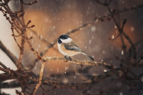 "Today's Photo Of The Day is ""Carolina Chickadee in the Snow"" by Jessica Nelson. Location: Maryland."