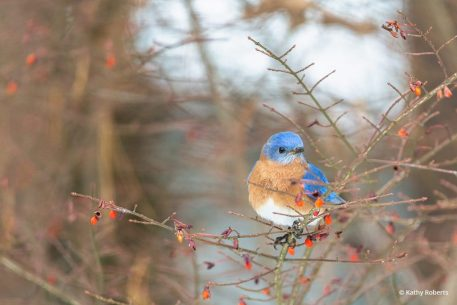 "Today's Photo Of The Day is ""Winter Berries and Bluebird"" by Kathy Roberts. Location: North Carolina."