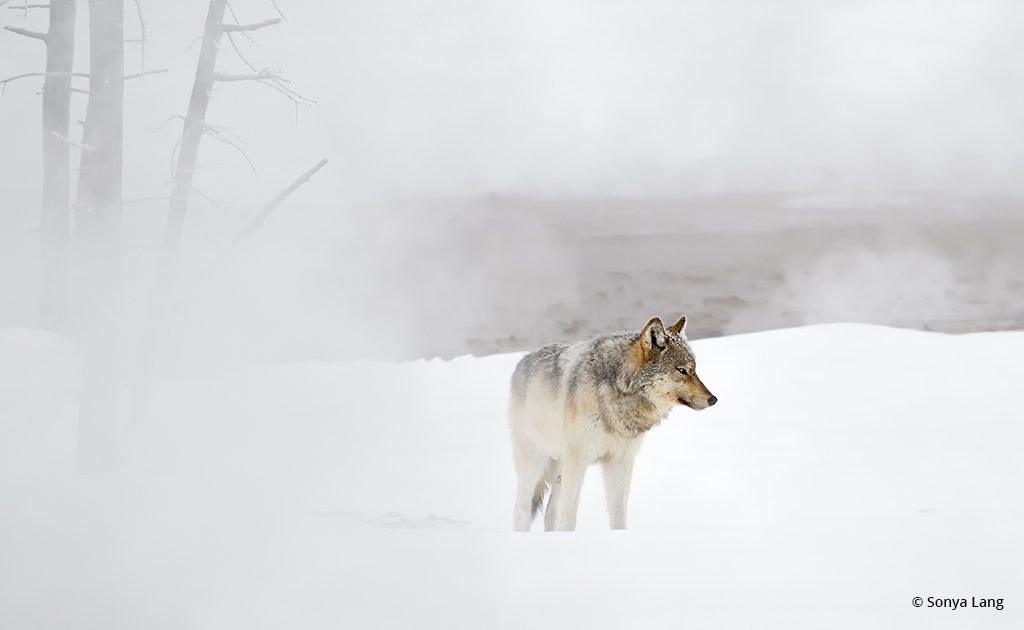 """Today's Photo Of The Day is """"Spirit of Winter"""" by Sonya Lang. Location: Yellowstone National Park, Wyoming."""