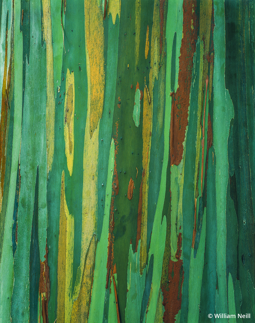 example of abstract nature photography: eucalyptus bark