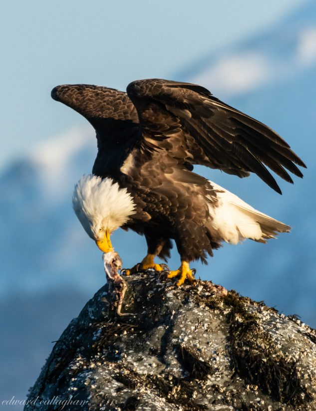 Eagle Dining on Crab