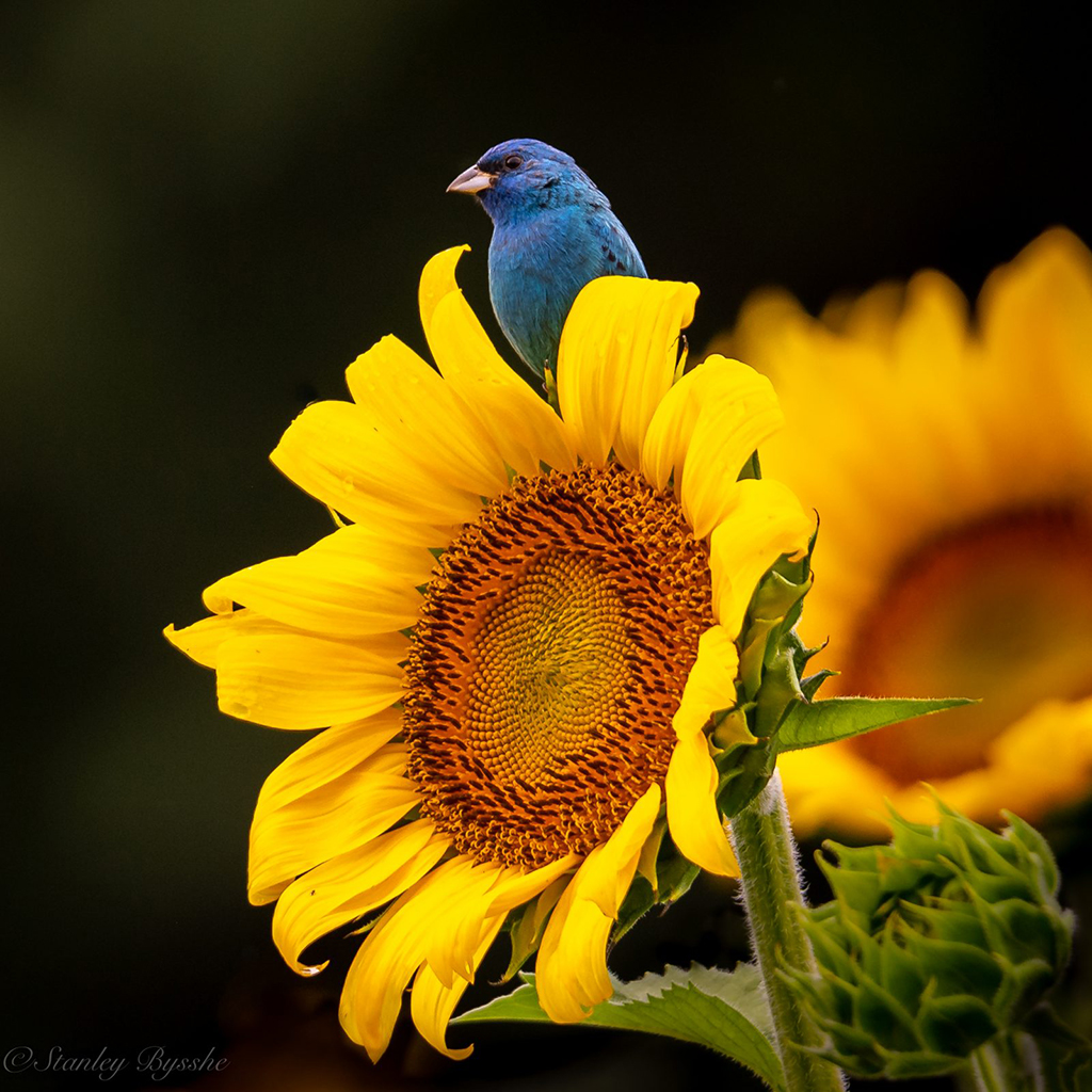 Sunflower and indigo bunting