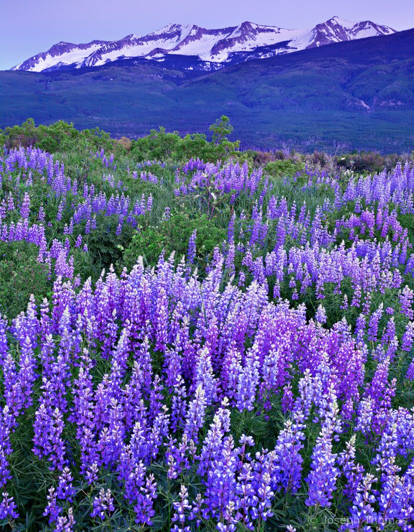White-tipped purple lupine