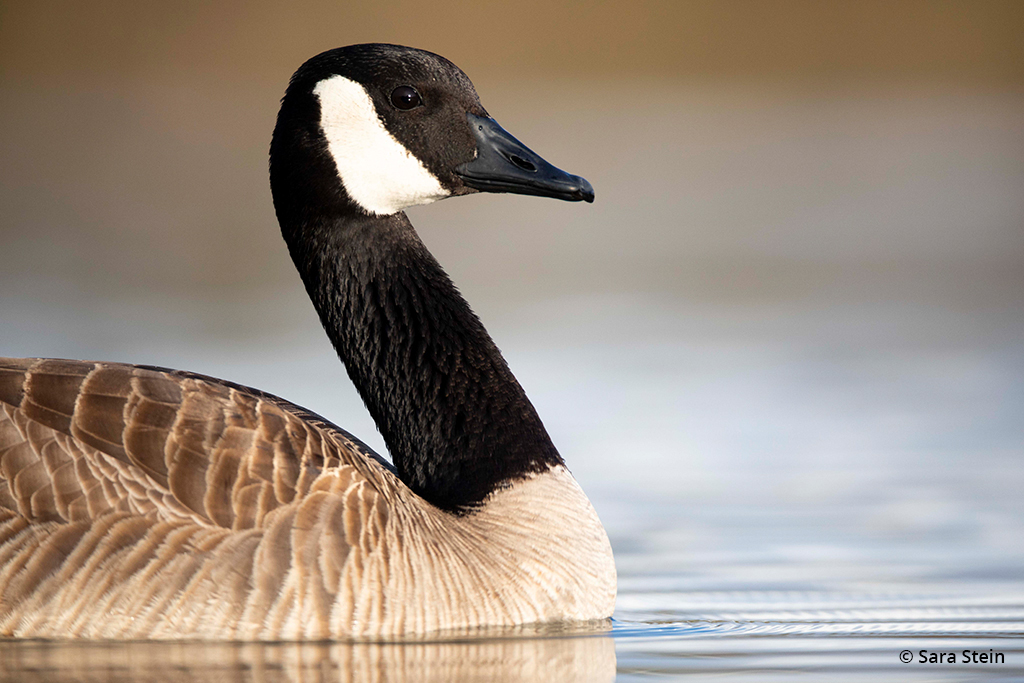 Example of urban wildlife: Canada goose