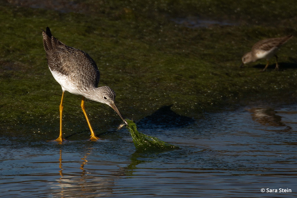 Example of urban wildlife: greater yellowlegs
