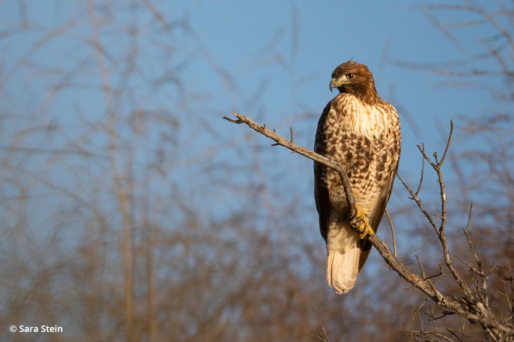 Example of urban wildlife: red-tailed hawk