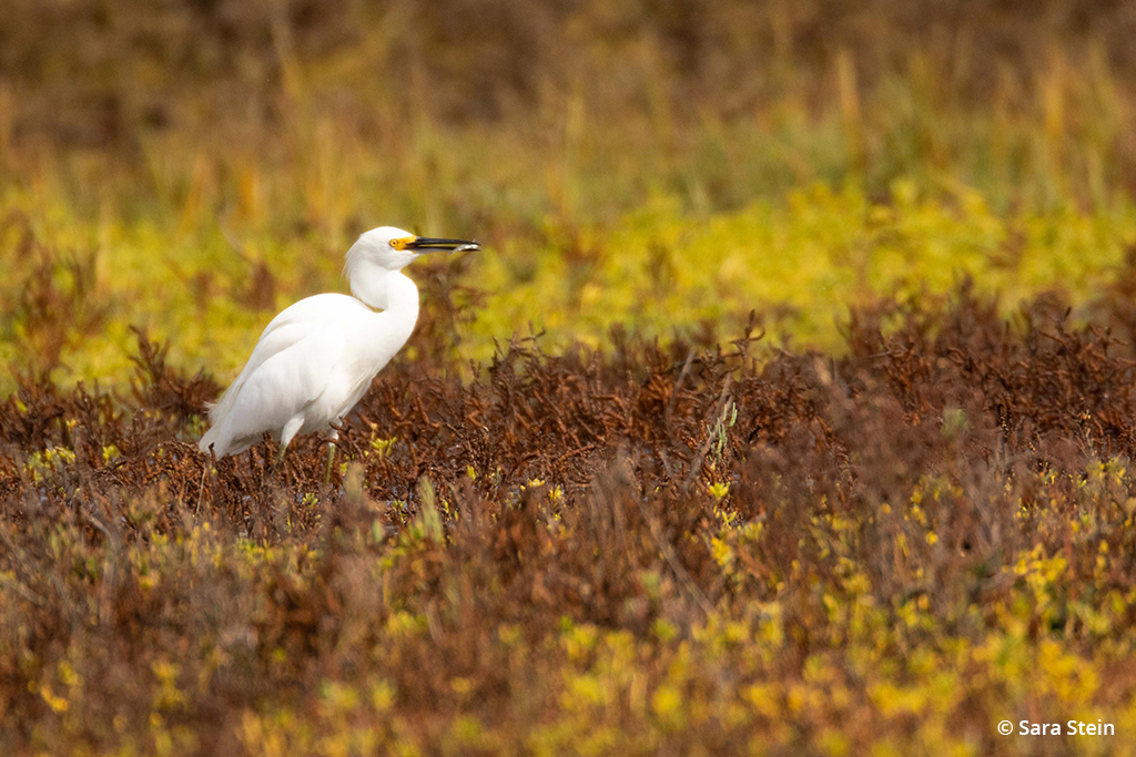 Example of urban wildlife: snowy egret
