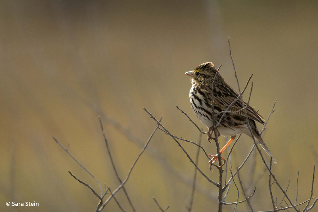 Example of urban wildlife: Belding's Savannah sparrow