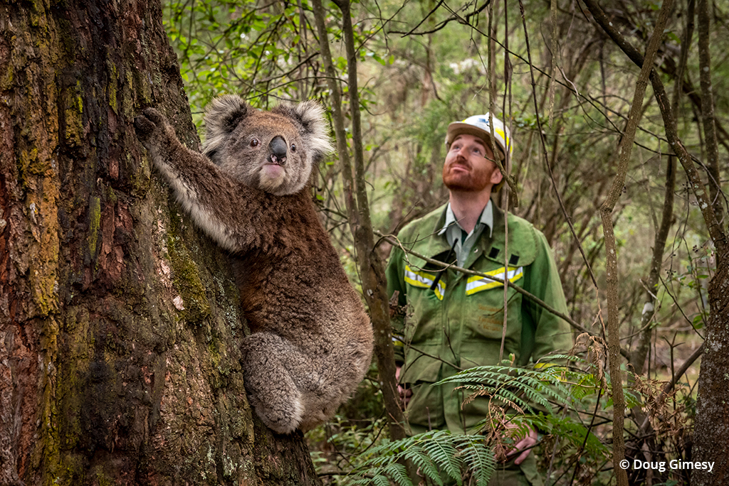 Koala rescue photo of a koala being returned to habitat