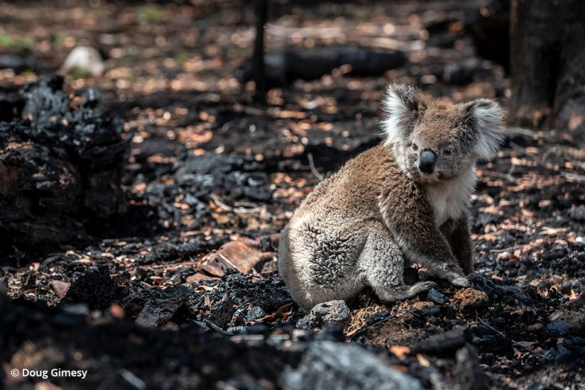 koala rescue photos: image of a koala in a destroyed habitat before rescue
