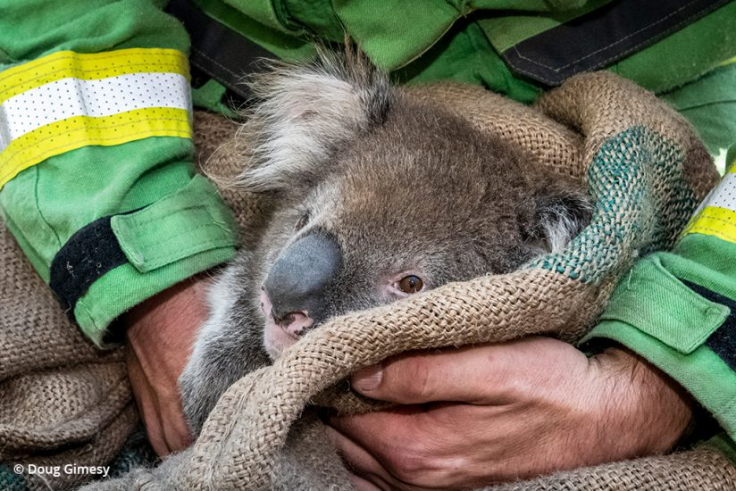 koala rescue photos: a koala is given a preliminary health check