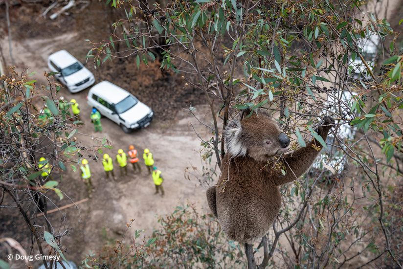 koala rescue photos: koala stranded in a tree