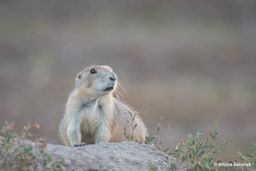 Image of a prairie dog next to its burrow