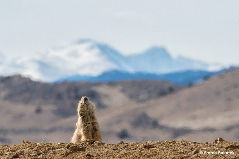 "Image of prairie dog behavior ""jump-yip"""