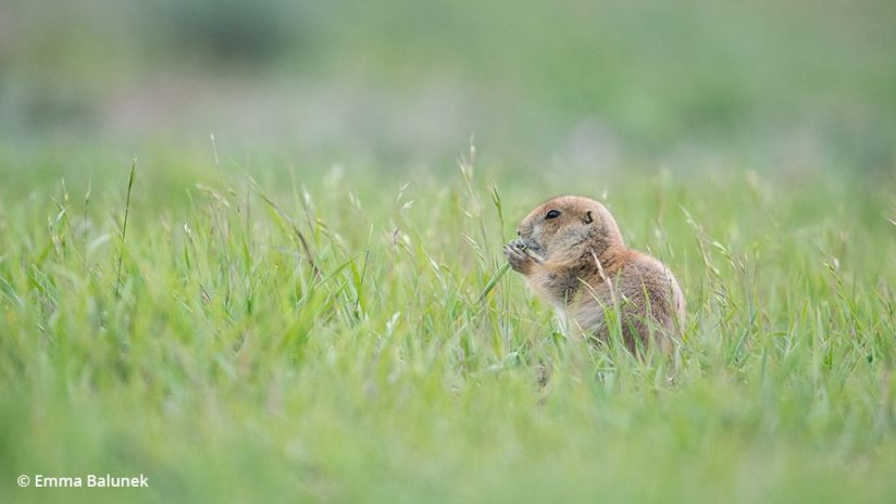 Image of a prairie dog eating grass