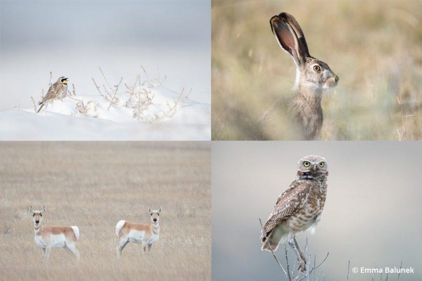 image collection of four species that depend on the prairie dog