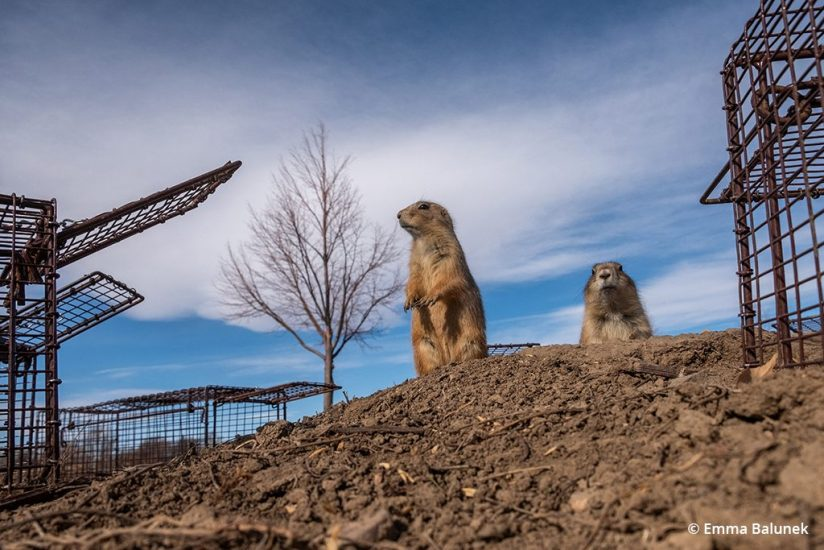 Image of prairie dog traps used by the Humane Society for relocation